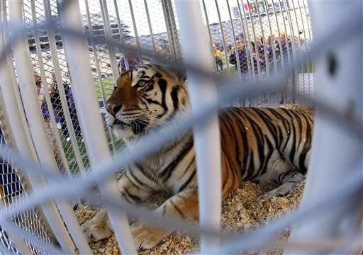 Big CAT scan: LSU mascot Mike the Tiger in cancer treatment
