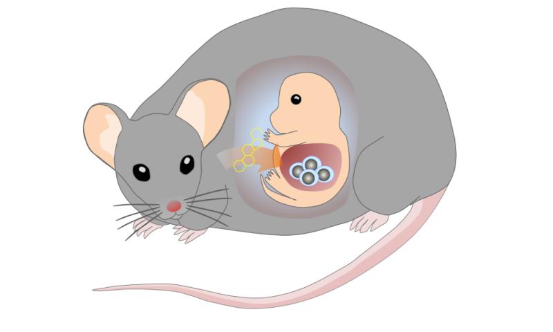 Bile acid support the production of blood stem cells