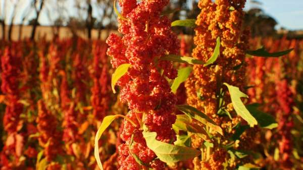 Bitter chemical coating leads to quinoa success