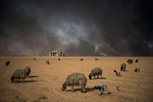 Blackened sheep graze as oil wells, set ablaze by retreating Islamic State (IS) jihadists, burn in the background, in the town o