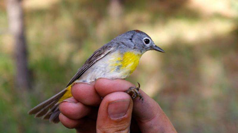 Black Hills warbler population not so isolated after all