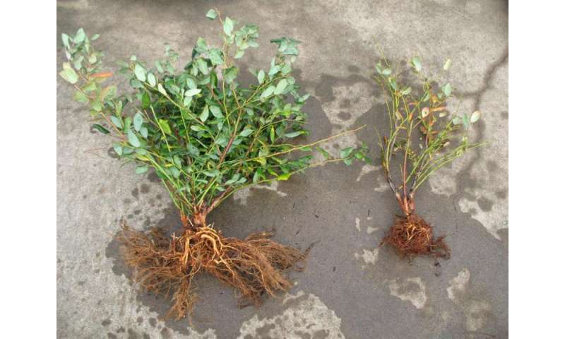 Blueberry types identified for resistance, susceptibility to pathogen