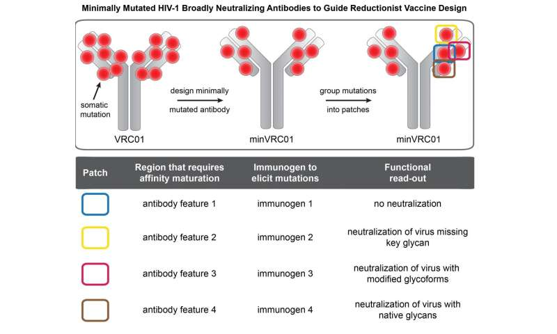 Broadly neutralizing HIV antibodies engineered to be better vaccine leads