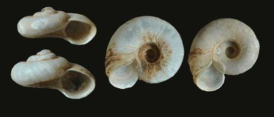 Bugs of distinction on brink of extinction