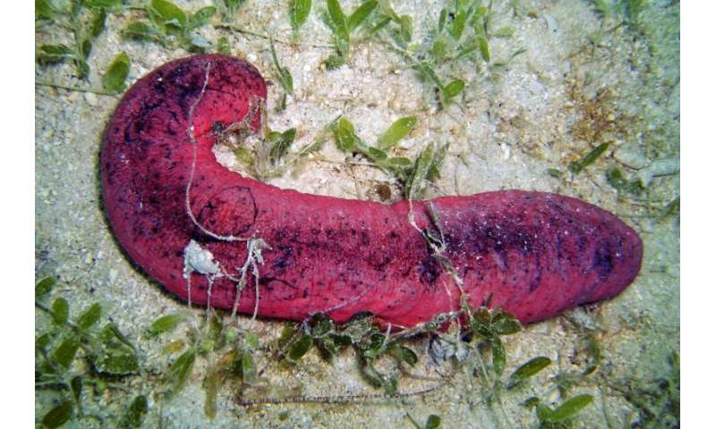 'Burnt Hot Dog' sea cucumbers raise red flags for threatened global fisheries