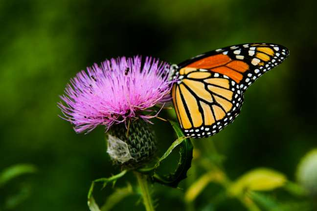 Butterflies' diet impacts evolution of traits