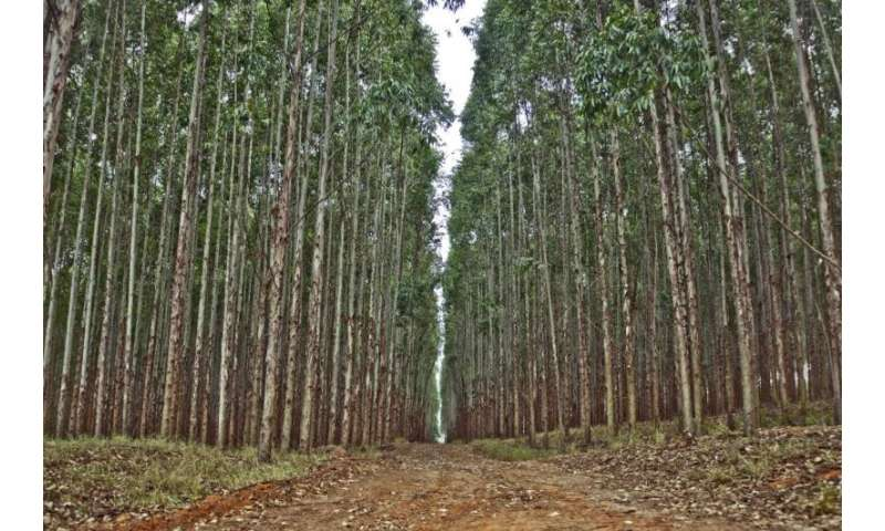 Calculating the growth of eucalyptus plantations from the cloud