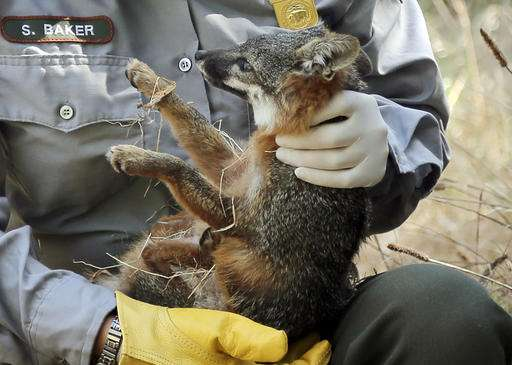 California island foxes removed from endangered species list