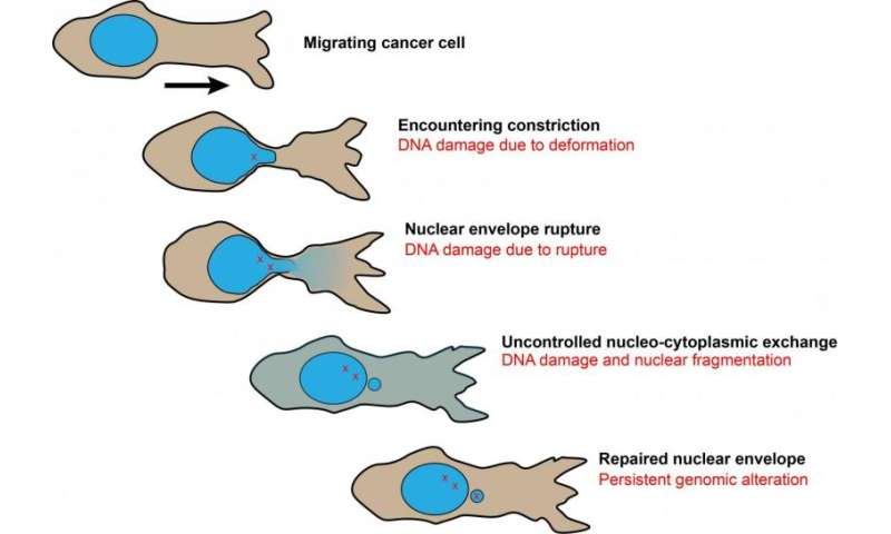 Cancer cells show resilient nuclear rupture repair, but expose weakness in doing so