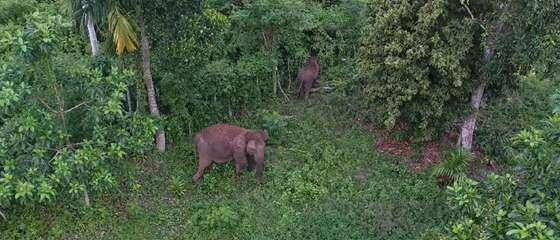 Can drone technology save the Sumatran elephant?