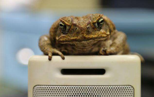 Cane toads make long-distance calls for love