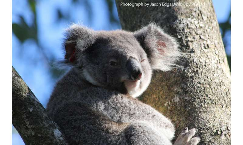 Can you teach koalas new tricks?