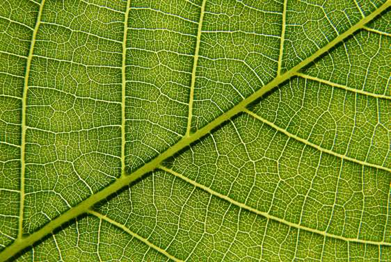 Cells work tightly together to form the water-conducting vascular tissue of plants