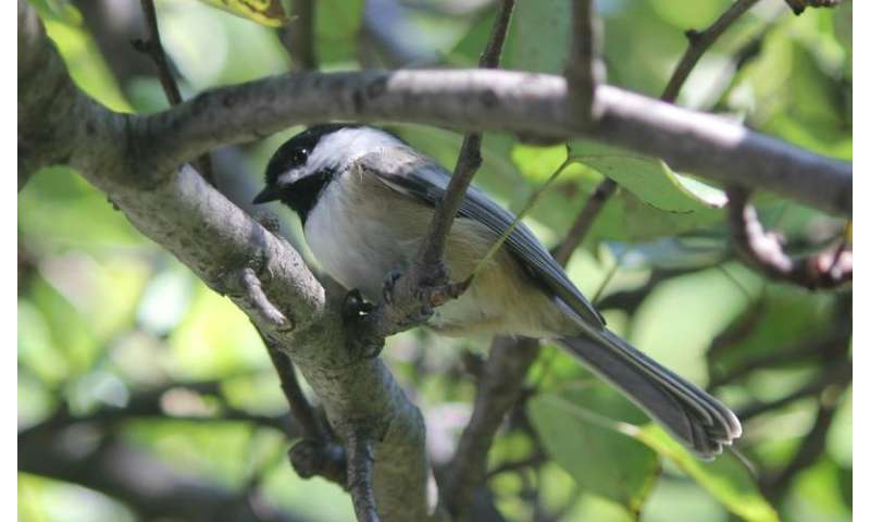 Chickadees perceive acoustic differences based on geography and sex