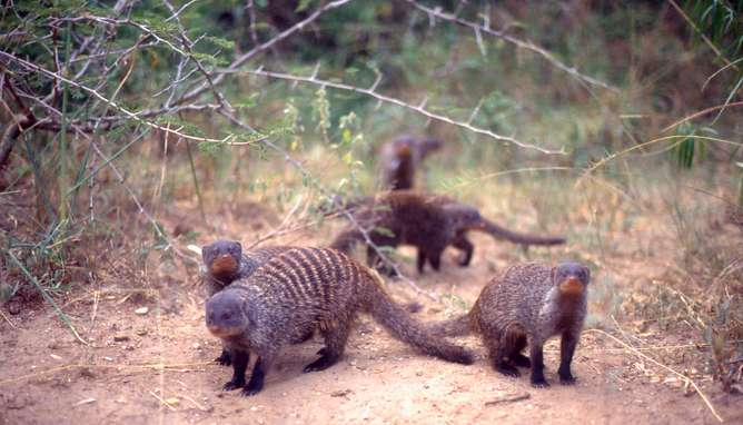 Civil war among the mongooses—and why it's all about sexual success