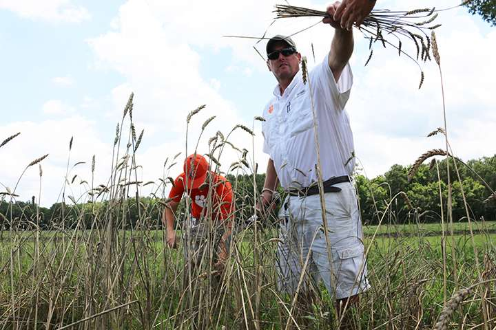 Clemson's first harvest of ancient Southern wheat exceeds expectations