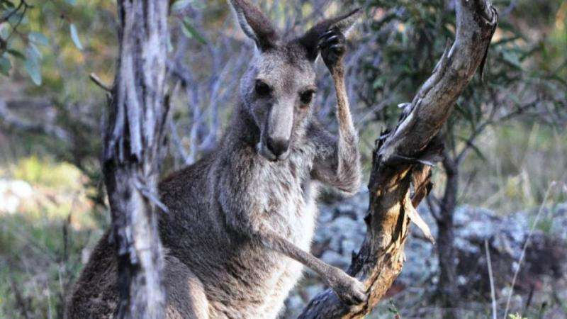 Cockatoos win, swallows lose when roos come to town