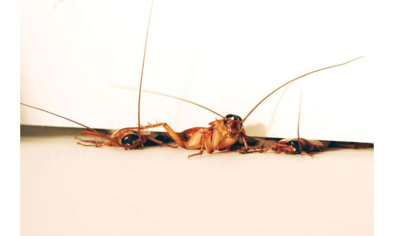 Cockroach inspires robot that squeezes through cracks