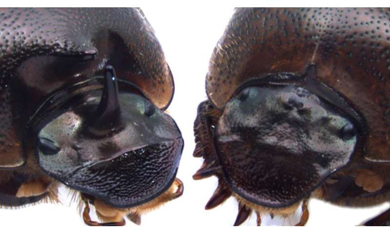 'Cyclops' beetles hint at solution to 'chicken-and-egg' problem in novel trait evolution