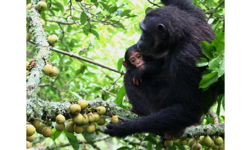 Dartmouth-led study of chimpanzees explores the early origins of human hand dexterity