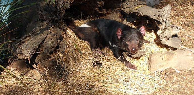 Deadly disease can 'hide' from a Tasmanian devil's immune system