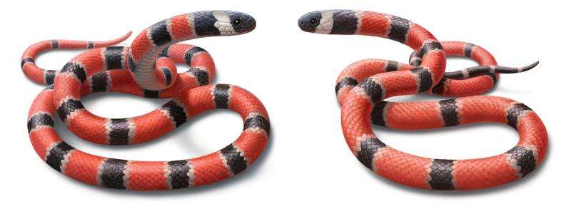 Deadly snakes or just pretending? The evolution of mimicry