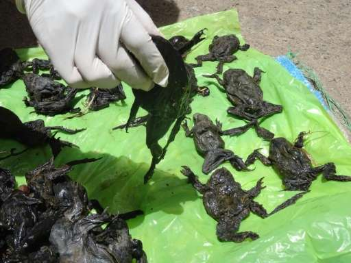 Dead wrinkly green frogs (Telmatobius culeus) are collected by a National Forestry and Wildlife Service staff member on the Coat