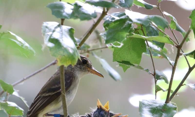 Declining male offspring further imperil endangered flycatchers in southern California