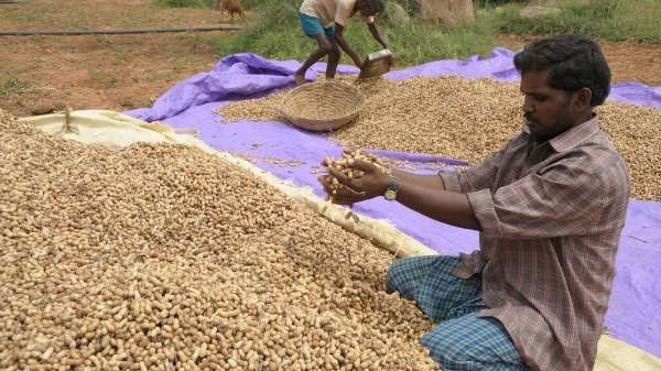 Decoded genome key to developing 'super' peanut