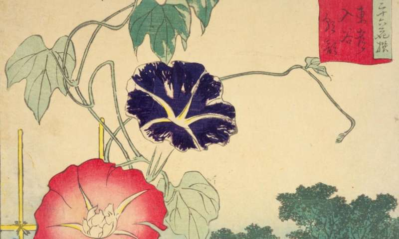 Decoding the genome of the Japanese morning glory
