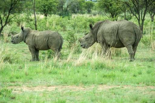 Dehorned rhinos roam the field at John Hume's Rhino Ranch in South Africa's North West province