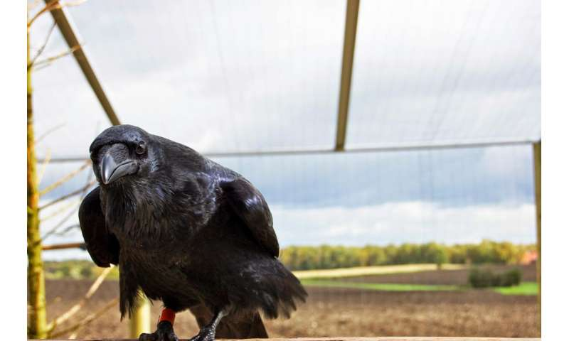 Despite their small brains -- ravens are just as clever as chimps