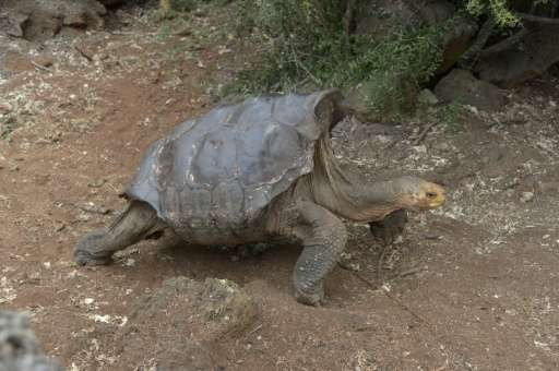 Diego, a tortoise of the endangered Chelonoidis hoodensis subspecies from Española Island, is seen in a breeding centre at Galap