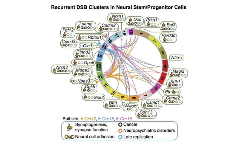 DNA breaks in nerve cells' ancestors cluster in specific genes
