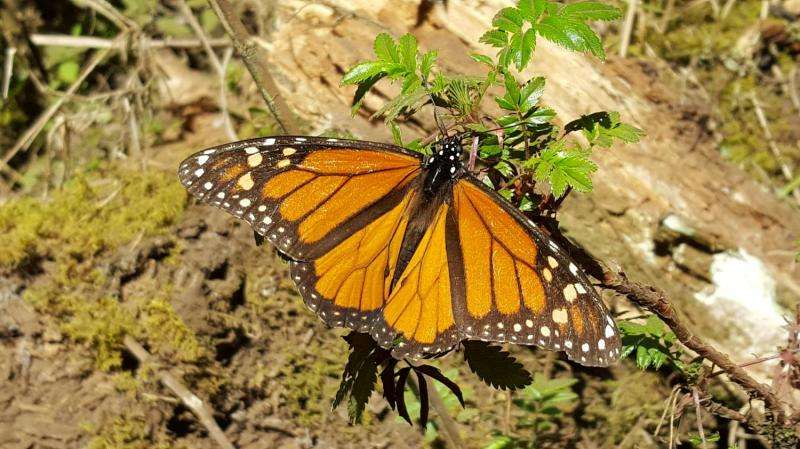 Eastern Monarch butterflies at risk of extinction unless numbers increase