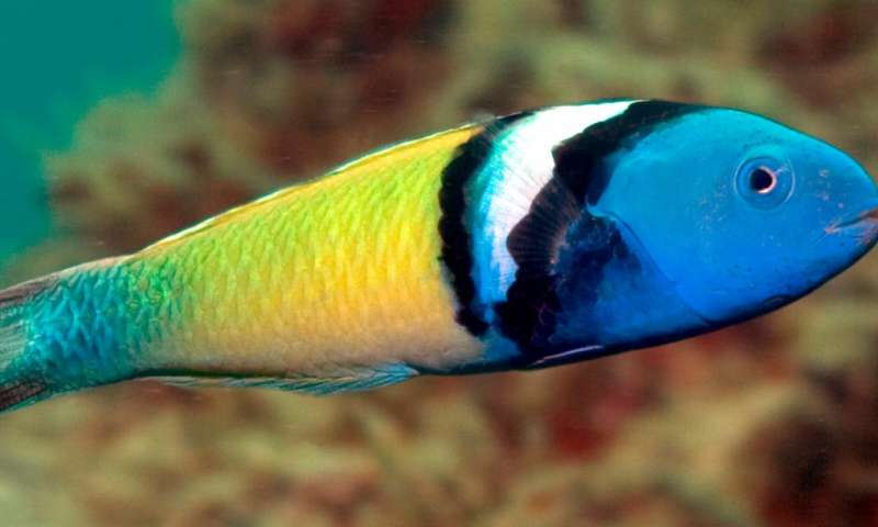 Eddies enhance survival of coral reef fish in sub-tropical waters