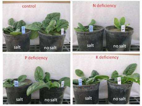 Effects of salinity and nutrient deficiency determined for spinach
