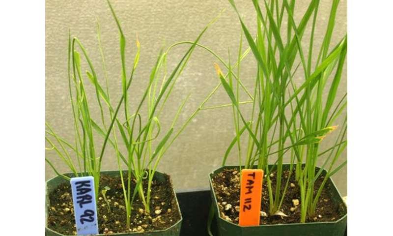 Enhanced wheat curl mite control found in genes