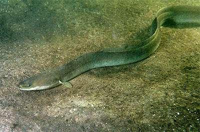 European eel