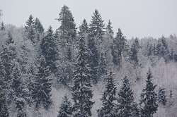 European forest trees show high levels of biodiversity within one tree species