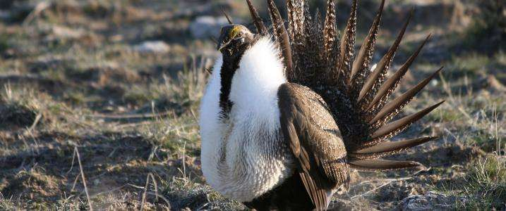Excess wildfire, cheatgrass affecting sage-grouse—targeted actions needed