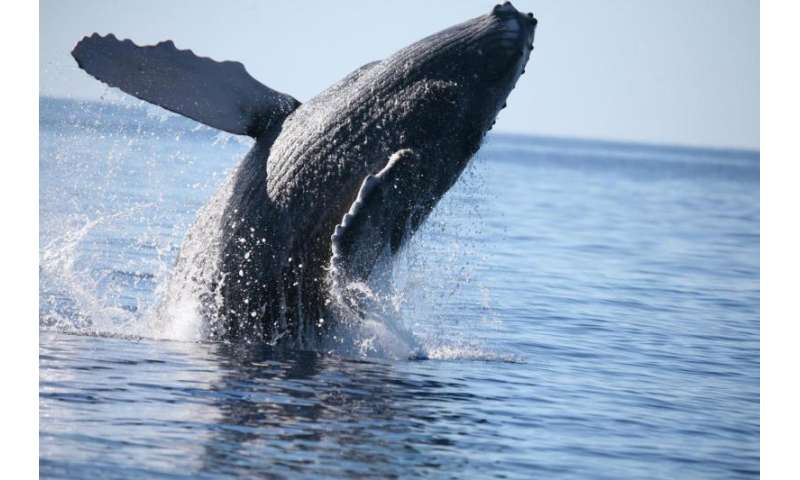 Exercise helps young baleen whales develop ability to store oxygen for extended dives