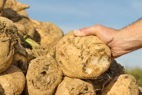 'Exploding' sugar beet cells for faster fermentation