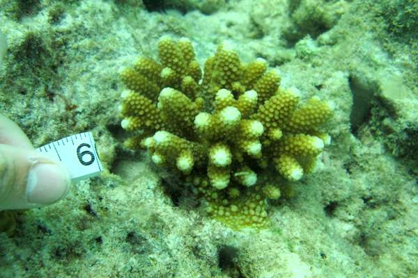 """Extreme"" corals could hold key to species survival"