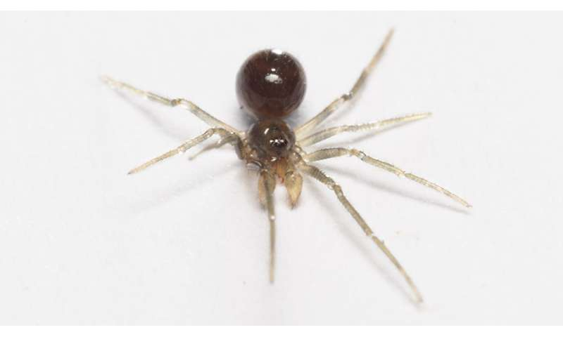 Family of scaffold web spiders increased with ~20 percent following discovery of 43 new species