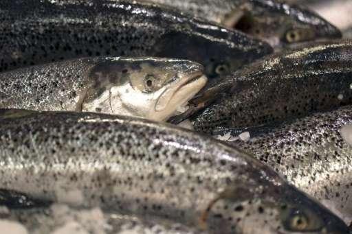 Farmed salmon at a supermarket on December 21, 2012 at the Kremlin-Bicetre, France