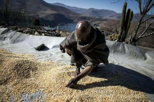 Farmer Mohlakoana Molise sorts through his last yield of maize