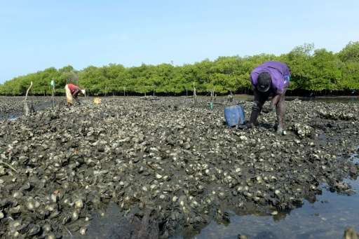 Farmers collect oysters from Joal mangrove in western Senegal