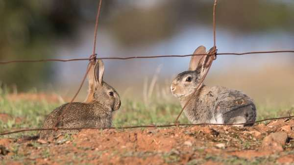 Farmers to benefit from revitalised rabbit control method
