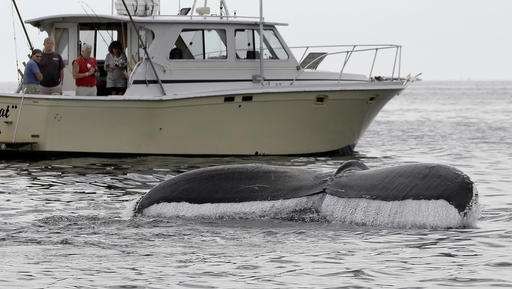 Feds take most humpback whales off endangered species list